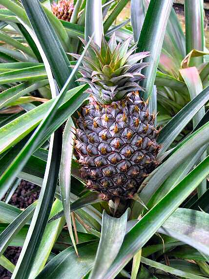 kite plants pineapple drachen pflanzen ananas. Black Bedroom Furniture Sets. Home Design Ideas