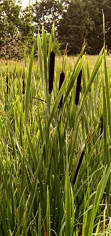 raupo pflanze in neuseeland