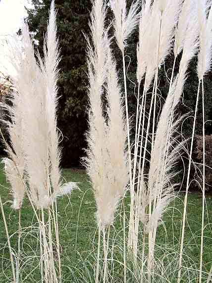 Common reed, (not only) in kite-building; Schilf, (nicht